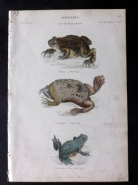 Richardson 1862 Hand Col Print. Common Toad, Surinam Pipa, Yellow Bellied Toad